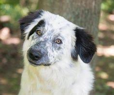 australian shepherd 1 year old meet eloise a petfinder adoptable australian shepherd dog grove