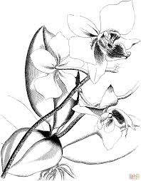 gousicteco orchid drawing outline images