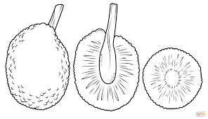 whole breadfruit and cross section coloring page free printable