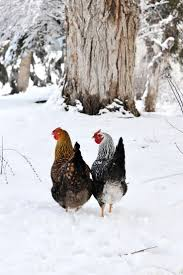 58 best fall and winter chicken care images on pinterest chicken