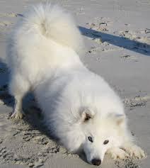 american eskimo dog growling eight below rp thread lioden