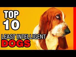 afghan hound least intelligent top 10 least intelligent dog breeds youtube