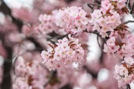 memories and celebrations of sakura japanese cherry blossoms san j