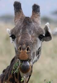 gail garth or gerta cataloguing the giraffes of the serengeti