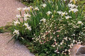 northern california native plants perennials summer dry celebrate plants in summer dry gardens