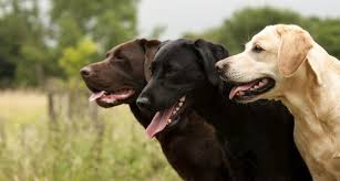 12 friendly facts labrador retrievers mental floss