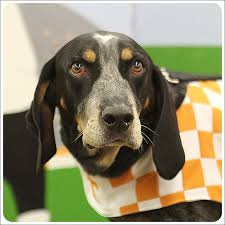 westminster bluetick coonhound 2016 say hello to chabdog of the month for october 2016 smokey x