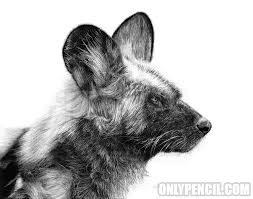 african wild dog onlypencil com wildlife pencil drawings by