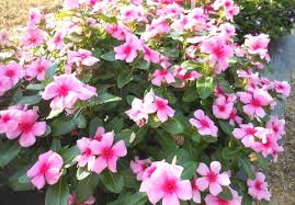 cora and nirvana vinca u2013 ornamental plants of the week for june 15