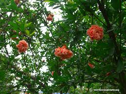pomegranate tree flower picture