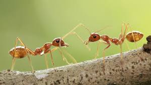 rare species of ant discovered in singapore youtube