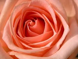 Peach Roses Free Online Rose Wallpapers