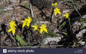 diuris corymbosa common donkey orchid australian orchid bloom stock photos u0026 australian orchid bloom