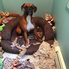100 boxer dog boxer dog is hyper puppies and adults