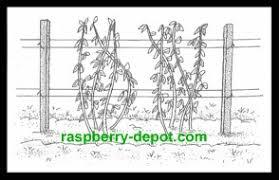 Rasberry Trellis Planting Raspberries How To Plant Raspberry Plants In Spring Or
