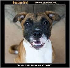 boxer dog rescue boxertown u2015 north carolina boxer rescue u2015 adoptions u2015 rescueme org
