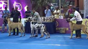 belgian sheepdog price in india great dane tallest dogs in chennai dog show india 2015 ymca ground