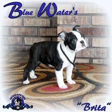 products archive boston terrier puppies