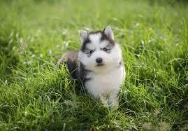 affenpinscher puppies for sale in ohio siberian husky puppies for sale akc puppyfinder