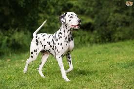 dalmatian puppies exercising pets4homes