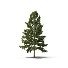 white pine tree white pine tree png images psds for pixelsquid s10579662b