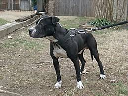 american pitbull terrier jeep bloodline woodall u0027s weird jack