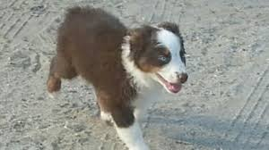 australian shepherd socal coronado u0027s australian shepherds u0026 quarter horses