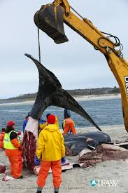 chatham right whale calf mortality update noaa fisheries