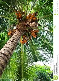 Palm Trees Fruit - the coconut tree and fruit stock photo image of botany 23628484
