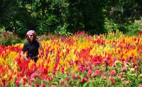 sirao flower farm mini amsterdam garden of cebu u2013 visit my