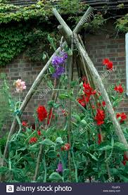 red and purple sweet peas climbing up rustic wooden plant supports