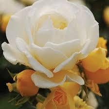White Roses For Sale Best 25 Rose Bushes For Sale Ideas On Pinterest Birds Photos