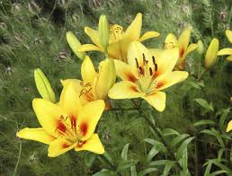 yellow lilies transplanting bulbs tips on how and when to move lilies in