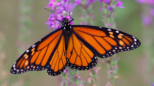 the four biggest hazards facing monarch butterflies and how you