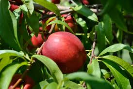 stark picks easy to grow fruit trees stark bro s