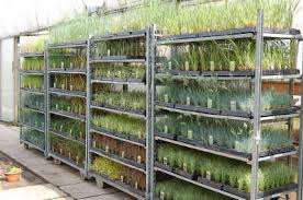 wholesale trade alpines and grasses liners and plugs