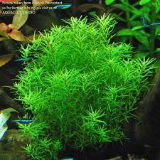 Aquascaping Plants Rotala Nanjenshan 2 U0027 Wabikusa Aqua End 12 30 2018 4 15 Pm