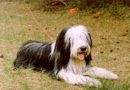 bearded collie brown bearded collie animals a z animals