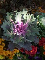 59 best garden kale ornamental images on ornamental