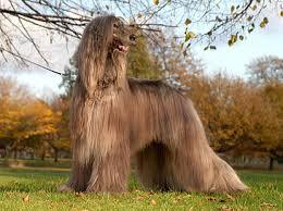 afghan hound lifespan afghan hound pets 123