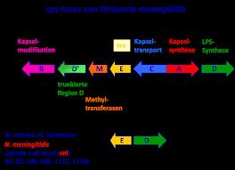 Einfluss des Komplementsystems und der neuartigen Meningokokken