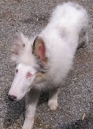 australian shepherd issues 44 best health problems in dogs images on pinterest health