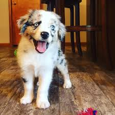 south dakota australian shepherd rescue outlaw aussies u0026 doxies home facebook
