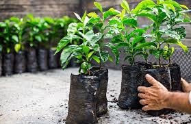 starbucks distributes one million coffee trees to farmers