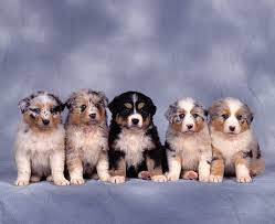 d b australian shepherds australian shepherd puppies and bernese mountain dog puppy sitting