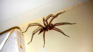 how to get rid of spiders in basement rental house and basement