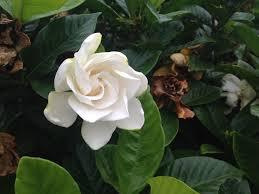 file flower of gardenia jasminoides jpg wikimedia commons