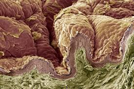 What Is Dead Tissue Called Integumentary System And Skin Layers