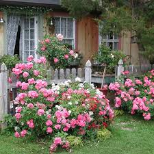 roses in old fashioned garden