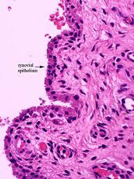 Tendon Synovial Sheath Anatomy Gross Anatomy Physiology Cells Cytology Cell Physiology